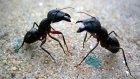 Karıncaları Zombileştiren Mantarlar