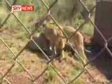 aslanlarla yaşıyan adam