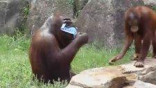Orangutan at the Tama Zoo in Tokyo.