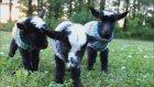 Giydirilmiş Şirin Keçiler