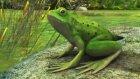 Morpa Kampüs - Kurbağalarda Başkalaşım