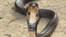 İnsan başlı Cobra Hindistan