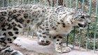 Kar Leoparının Muhteşem Yeteneği
