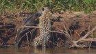 Jaguar Timsahı Öyle Bir Avladı Ki