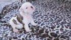 Ses denemesi yapan yavru köpek