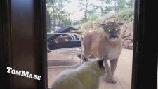 Dağ Aslanı İle Kedi Karşılaşırsa