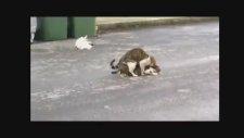 çanakkale'nin çılgın kedileri