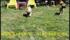 kangal yavruları 0532 343 8041