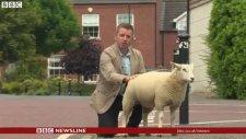Koyunun CNN Muhabirine Tepkisi