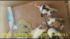 jack russell terrier yavruları 0532 3438041