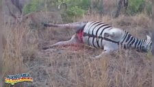 Son Şakasını Yapan Zebra ( 18)