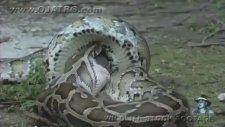 Dev Piton yılanı Timsahı yutuyor