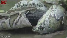 Piton Yılanı Timsahı Böyle Yuttu
