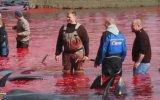 Gelenek Adı Altında Balinaları Katleden Faröeliler 18