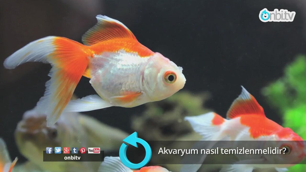 Bulaşıcı olmayan goldfish balığı hastalıkları ve tedavisi yöntemleri