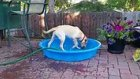 Kendi Havuzunu Kendisi Dolduran Köpek