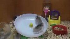 İki Hamsters Bir Tekerlekte Oynamaz