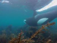 Yeni Zelanda'da Katil Balinalarla Birlikte Yüzmek
