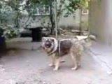 kafkas coban köpegı