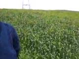 gelişmesi durmuş buğdayda b5a ile 15 günde alınan