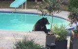 Havuzu Basan Ayıcık