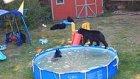 Sıcaktan Bunalan Ayıların Bir Evin Bahçesindeki Havuzda Keyif Yapması