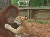 Kendini Kaplanların Annesi Sanan Orangutan