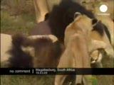 aslanlarla oyun