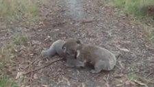 Koala Güreşi