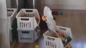 Bardağa Bağırmayı Keşfeden Papağan