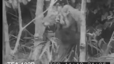 Bengal Kaplanı Avı - 1950 Yılına Ait Kayıtlar (Sesli+İnanılmaz Çekimlerle)