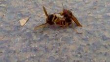 Arılar Nasıl Çiftleşir?
