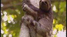 Tembelhayvan'ı Avlayan Şerrrefsiz Puma