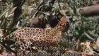 Jaguara Nal Toplatan Tembelhayvan