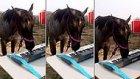 Ağzıyla Klavye Çalan Atın Ümit Besen'i Kıskandıracak Performansı