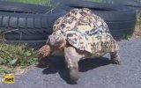 Dünyanın En Hızlı Kaplumbağası