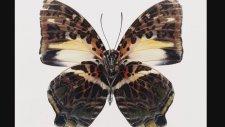 Kelebeklerin hayran bırakan simetrik güzellikleri