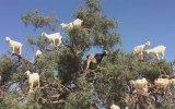 Ağaçta Tüneyen Keçiler