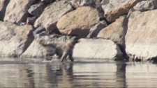 Yavrusunu suyun içinde aradı