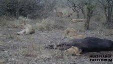 Bufalonun Kıçına Kafayı Kaptıran Aslan