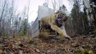 GoPro: Siberian Tiger Release