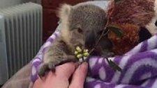 Tüm Zamanların En Sevimli Yavrusu: Koala Joey