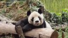 Pandaların Eğlenceli Hallleri