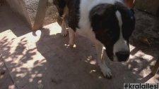 Fırında Kafkas Çoban Köpeği || Kısa Video