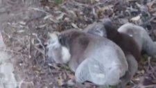 İnsan Gibi Kavga Eden İki Koala