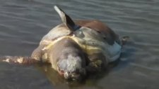 Balıkesir'de Caretta Caretta'yı Kurşunladılar