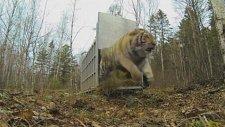 Sibirya Kaplanının Ormana Bırakılışı