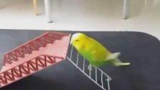 Kuş Beyinli Diyenleri Utandıran Muhabbet Kuşu