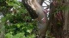 Dev Piton Ağacın Üzerindeyken Böyle Mideye İndirdi
