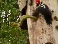 Yuvasını Ele Geçiren Yılana Kafa Tutan Ağaçkakan
